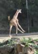 Oakland Zoo's new baby giraffe