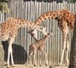 Giraffes lean in to check out the new baby.