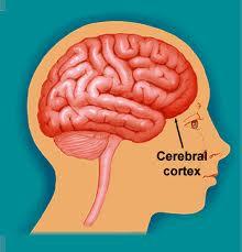 Cerebral cortex @ EurekaMag.com