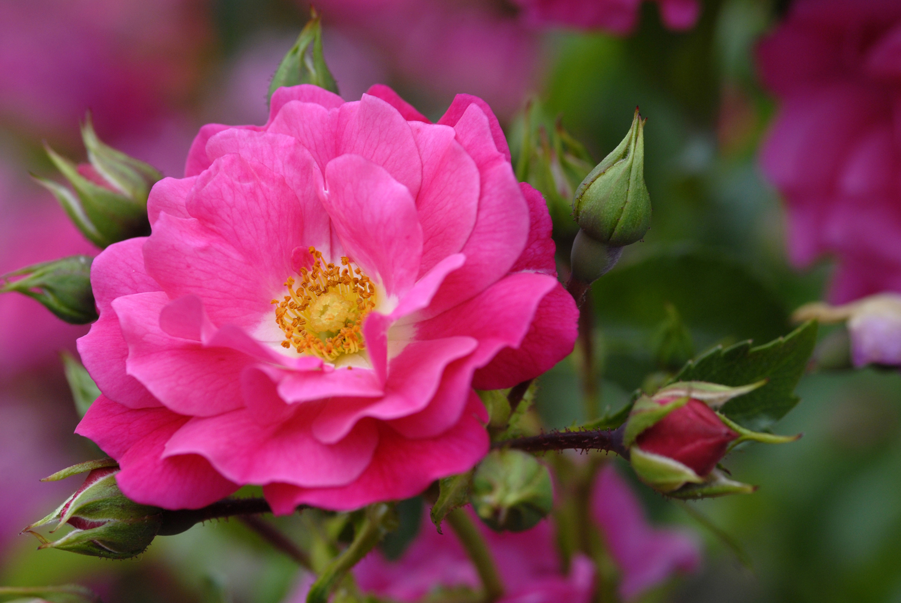 What to get a garden lover for valentines day flower carpet pink supreme is a stunning easy care addition to any garden dhlflorist Image collections