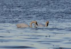 Arctic Tundra Swans on Lake Champlain