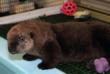 Otter pup 572 at the aquarium. (c) Monterey Bay Aquarium/Randy Wilder