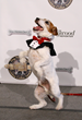 Uggie in his Rrruffler tuxedo            Photo Courtesy of Getty Images