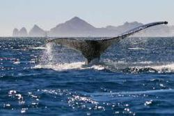 Whale in Cabo San Lucas