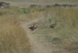 Quails on Fort Pierre NG