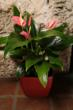 Anthuriums are a great indoor plant to clean the air of toxins.