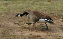 canada-goose-nesting-season