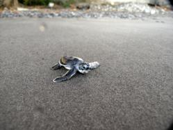 Sea turtle at Rosalie Bay Resort, Dominica