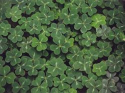 Clover for St Patrick's Day