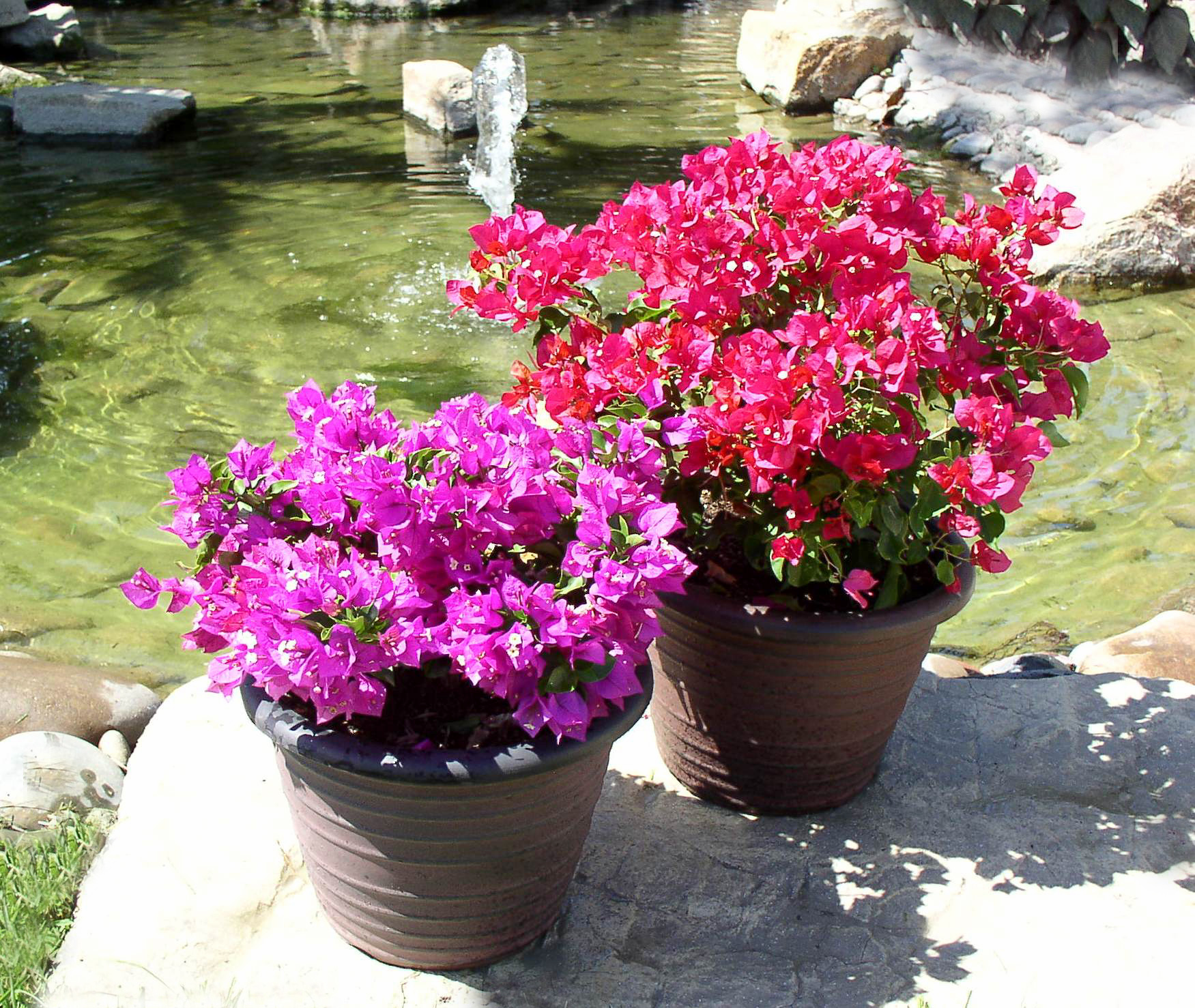 25 types of flowers to plant for summer summer flowers total scientific name bougainvillea spectabilis mightylinksfo
