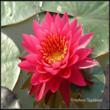 Tan-Khwan Water Lily
