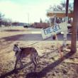 Diesel, the greyhound pulling his own fuel