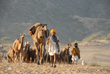 Camels on the way to the Pushkar Fair