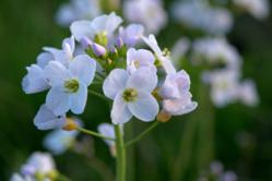 Cuckoo Flower - (c) Brian Eversham, The Wildlife Trust.