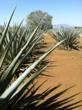 No Mas! team visits the fields of agaves, nurtured for the making of Tequila.  (photo courtesy No Mas!)