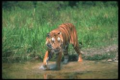 See tigers in India