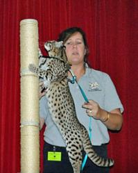 South American geoffroy's cat is presented during an outreach program