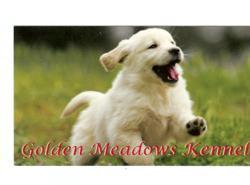 golden retriever pup, business card