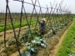 Vegetable cultivation in Ha Tinh Province of Vietnam @ VolkerKleinhenz.com