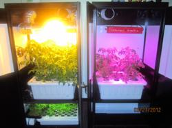 LED vs. HPS SuperCloset Deluxe Tomato GrowOff