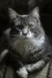Petplan-protected Maine Coon cat