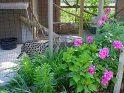 Hawk Creek enclosure for African serval