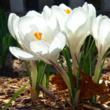 Crocus Bulb Garden