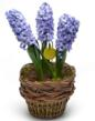 Purple Hyacinth Bulb Garden