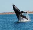Breaching Whale off the Bow!