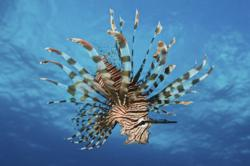 Lionfish displays its poisonous spines, Fiji.