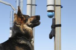 German Shepherd protection training remote control