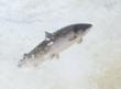 Good News for the Economy - Science Confirms Improved Salmon Runs in 2011