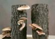 Mother's Day Shiitake Mushroom Logs Make Great Gifts for Gardening...