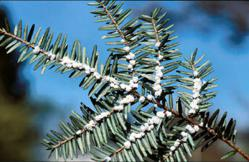 Hemlock Woolly Adelgid Ovisacs. Photo Courtesy of USDA.