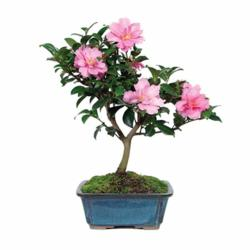 Flowering Bonsai Tree for Mother's day - BonsaiOutlet.com