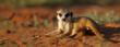 cute baby meerkat being filmed in 3D and broadcast LIVE from Tswalu Kalahari by WildEarth