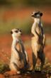 Cleo and Gandalf alpha meerkats leading the Gosa meerkat gang at Tswalu, Kalahari, South Africa.
