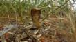 cape cobra strikes WildEarth camera at Tswalu Kalahari South Africa