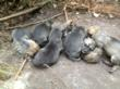Newborn Mexican gray wolf pups