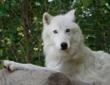 Ambassador wolf Atka