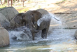 African Elephant at Oakland Zoo in her pool