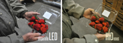 strawberries under Noribachi LED and under regular light
