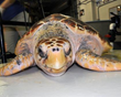 World Turtle Celebration Kicks-Off Memorial Day Weekend at the South...