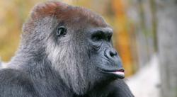 The Endangered Species Lowland Gorilla; photo by Craig Kasnoff