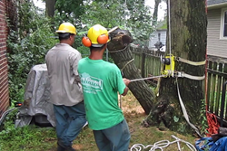 Removing a hazardous Oak tightly wedged between two houses requires special rigging and experience with the way giant limbs will behave once they are cut free and in the air.
