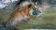 Starting Endangered Species Day, May 17, 2013, a Tiger Journal.com...