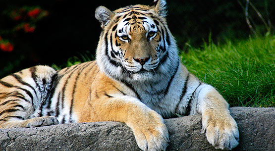 endangered siberian tiger essay Check out our top free essays on why are bengal tigers endangered to help you write your two major subspecies of the tiger are the siberian tiger.