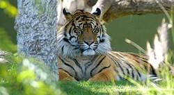 The Sumatran Tiger - an Endangered Species - photo by Craig Kasnoff