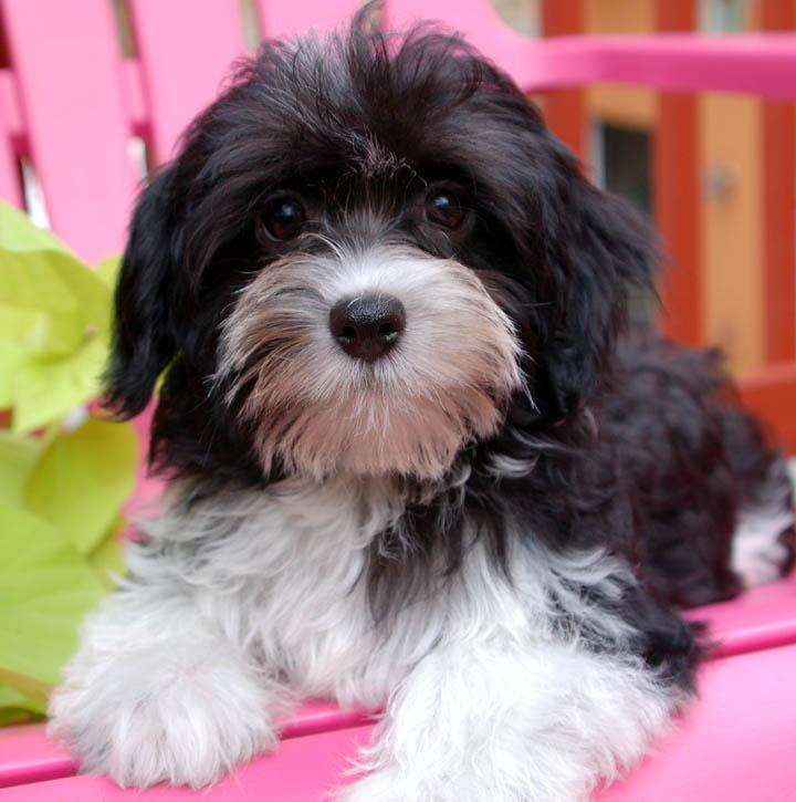 Holly Black Dog Breeder