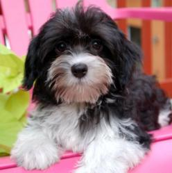 royal flush havanese black and white male havanese puppy